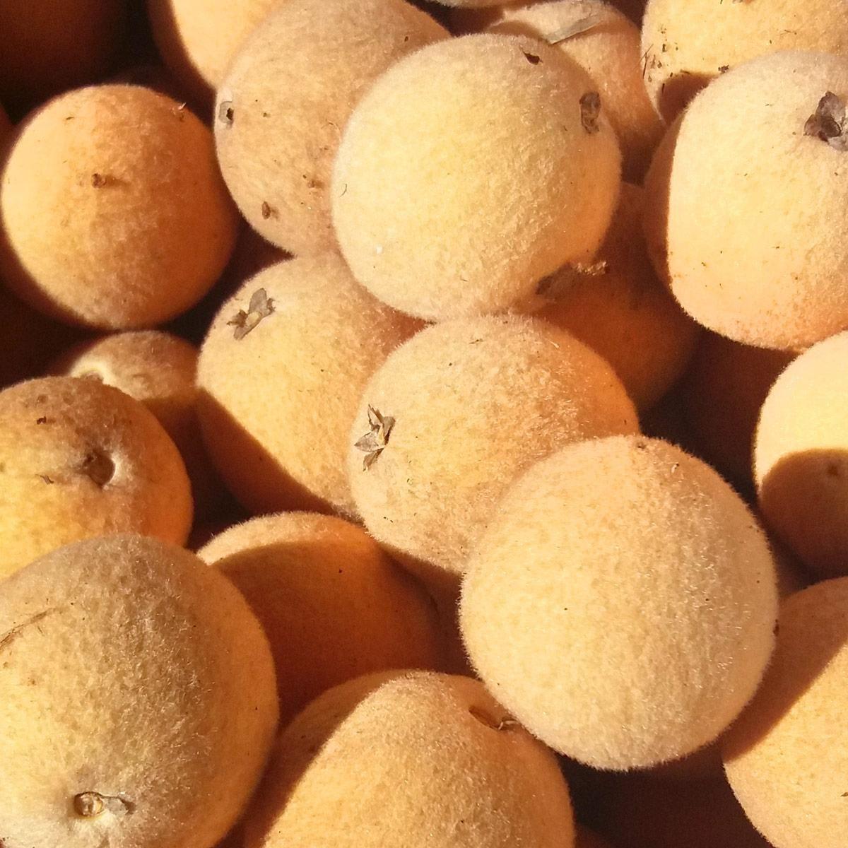 Muda de Abiu-piloso - Pouteria torta
