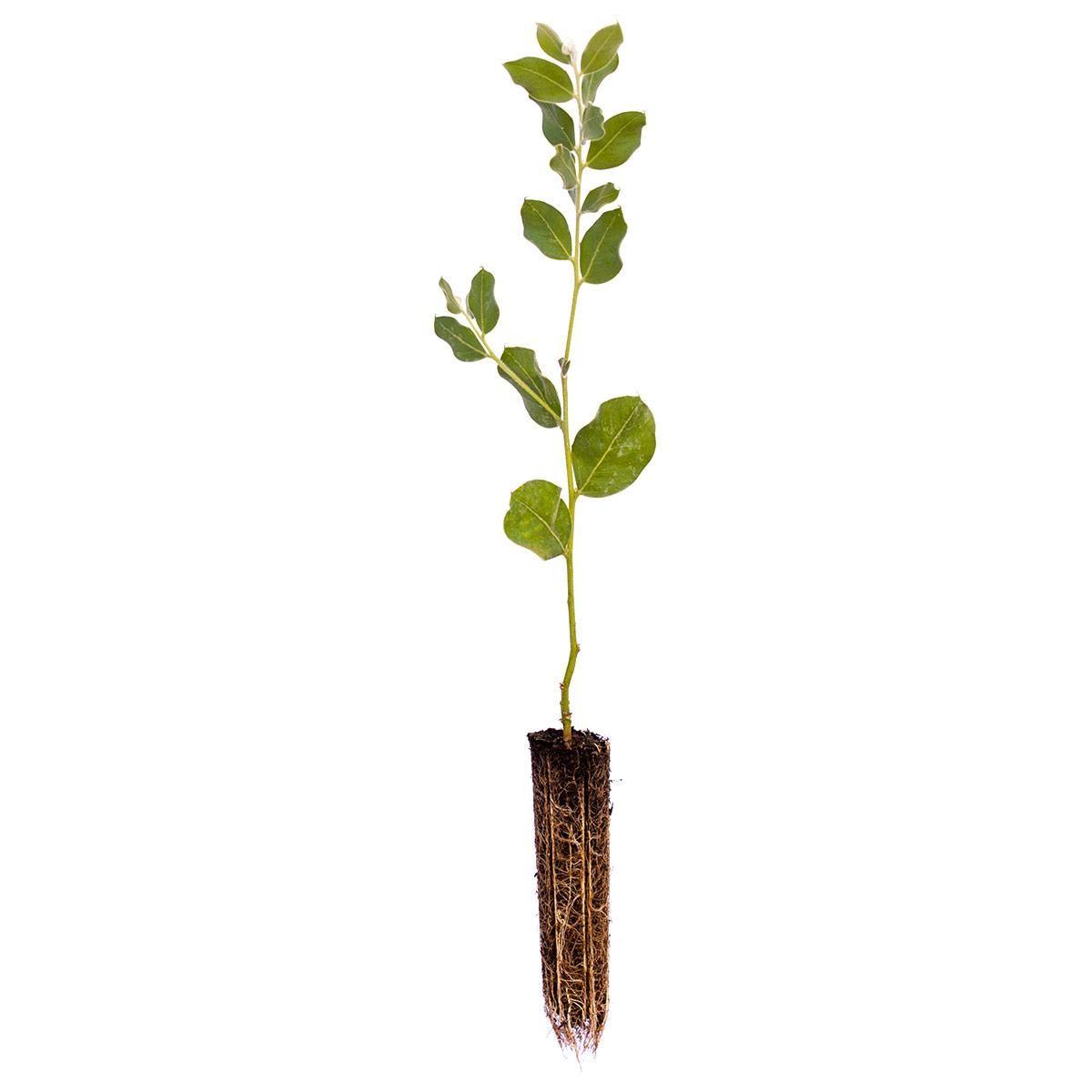 Muda de Acacia Mimosa - Acacia podalyriifolia A. Cunn. ex G. Don Acacia-mimosa