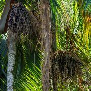 Muda de Açaí - Euterpe oleracea