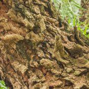 Muda de Aroeira-Salsa - Schinus molle