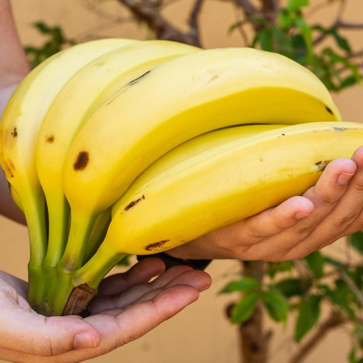 Muda de Banana-Nanica - Musa ssp