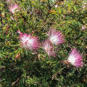 Muda de Caliandra - Calliandra tweediei