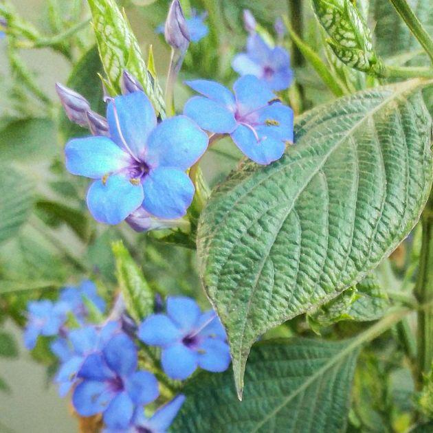 Muda de Camarão Azul - Eranthemum pulchellum