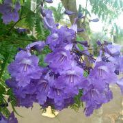 Muda de Caroba - Jacaranda cuspidifolia