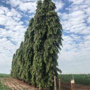 Muda de Choupala - Polyalthia longifolia