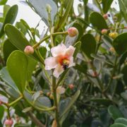 Muda de Clúsia - Clusia fluminensis