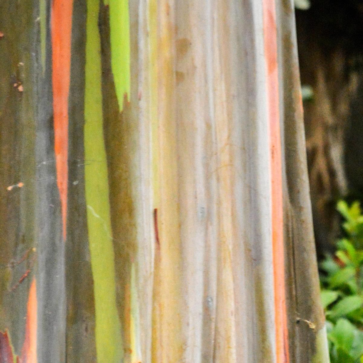 Muda de Eucalipto-arco-íris - Eucalyptus deglupta