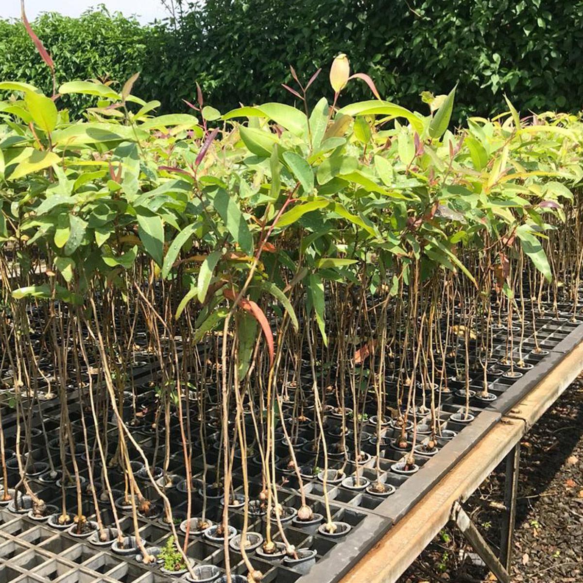 Muda de Eucalipto-citriodora - Eucalyptus citriodora
