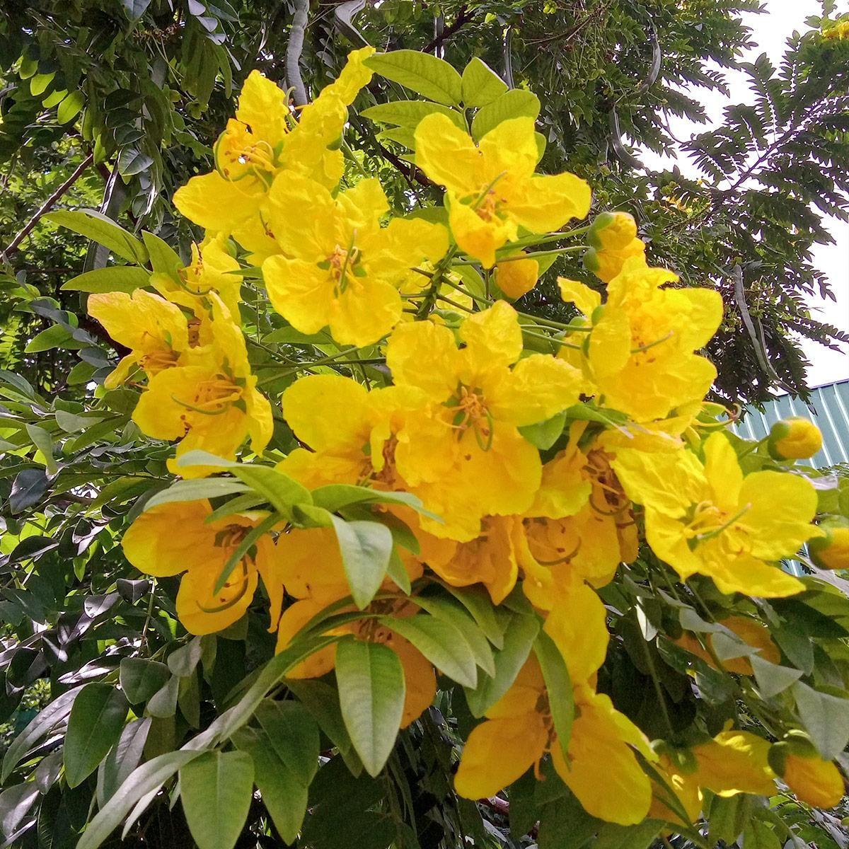 Muda de Falso-barbatimão - Cassia leptophylla