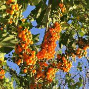 Muda de Fruta-de-sabiá - Acnistus arborescens