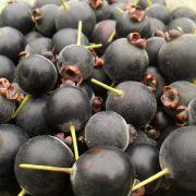 Muda de Guabiju - Myrcianthes pungens