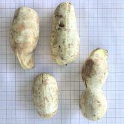 Muda de Ingá-branco - Inga laurina