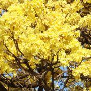Muda de Ipê-amarelo - Tabebuia chrysotricha