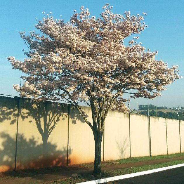 Muda de Ipê-branco - Tabebuia roseo-alba