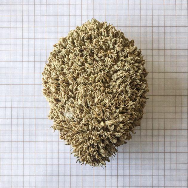 Muda de Ipê-felpudo - Zeyheria tuberculosa