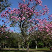 Muda de Ipê-roxo - Tabebuia avellanedae