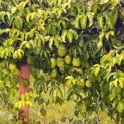 Muda de Maracujá-azedo - Passiflora edulis
