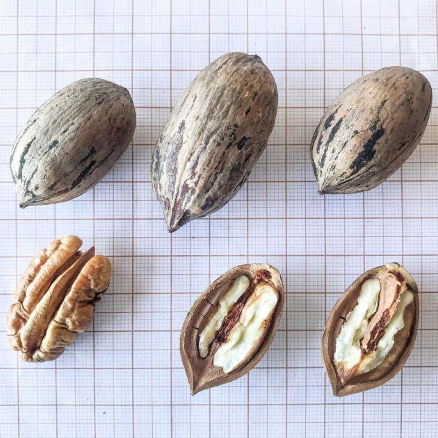 Muda de Nogueira pecan - Carya illinoinensis