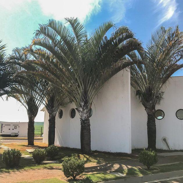 Muda de Palmeira triangular - Dypsis decaryi