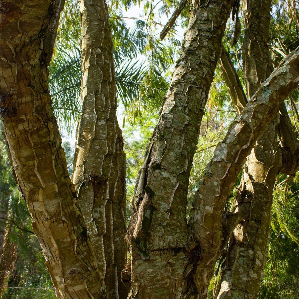 Muda de Pau-Jacaré - Piptadenia gonoacantha