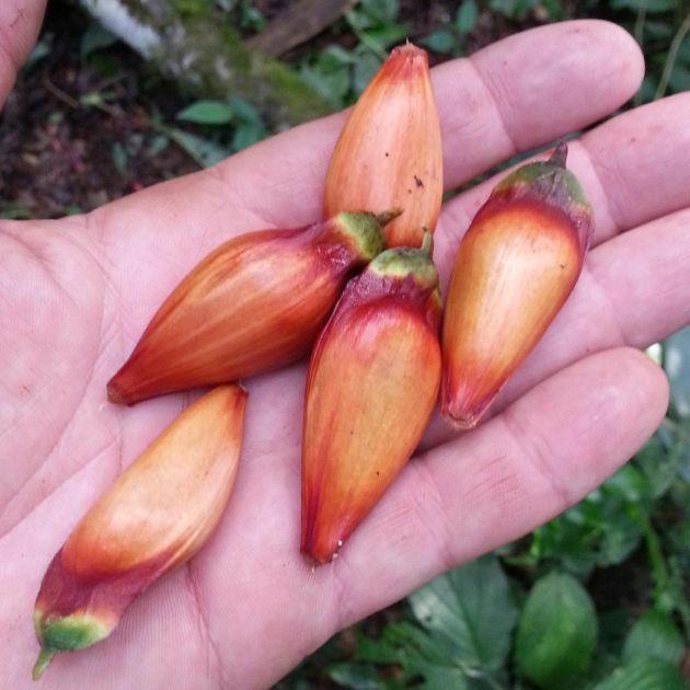 Muda de Pinheiro do Paraná - Araucaria angustifolia