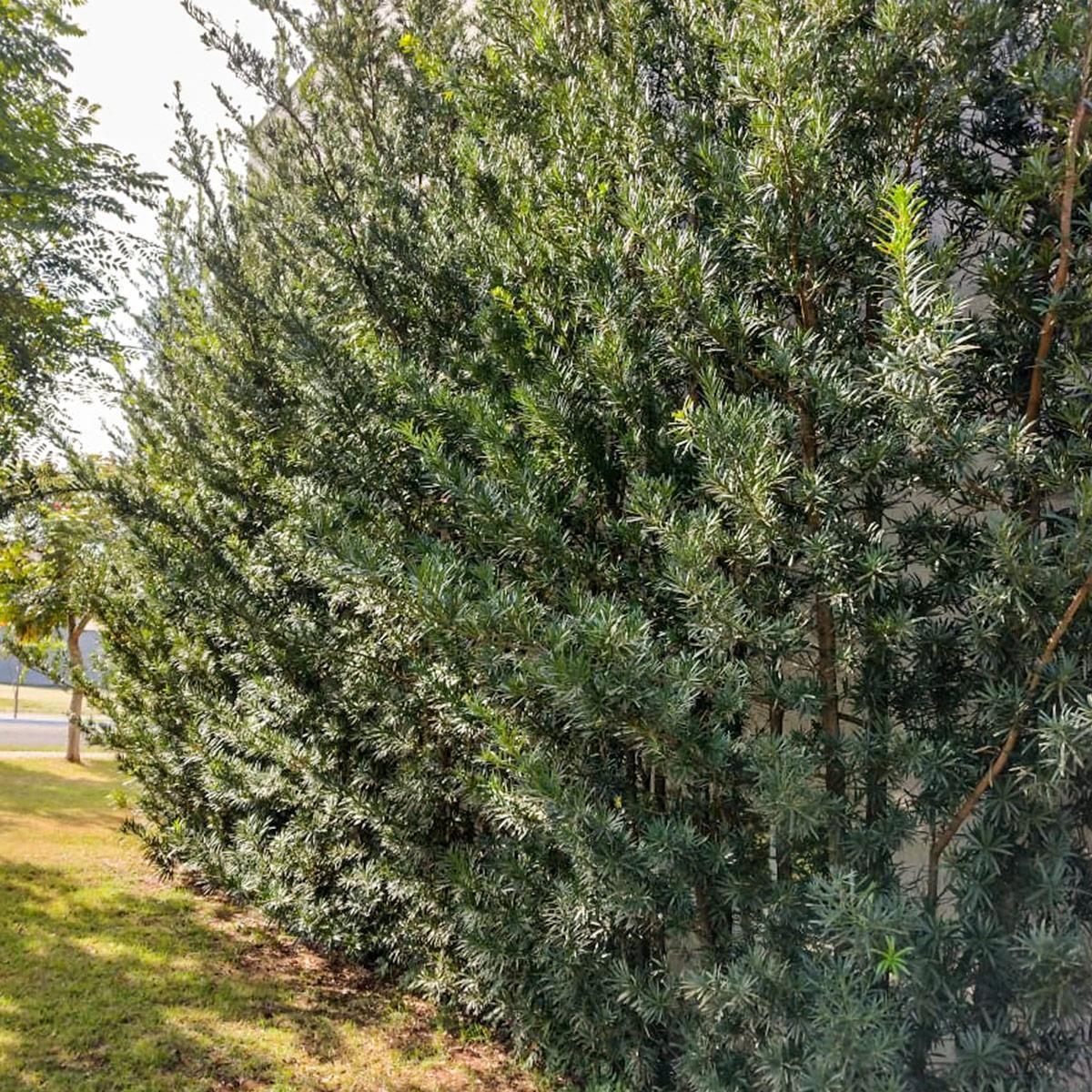 Muda de Podocarpus - Podocarpus macrophyllus
