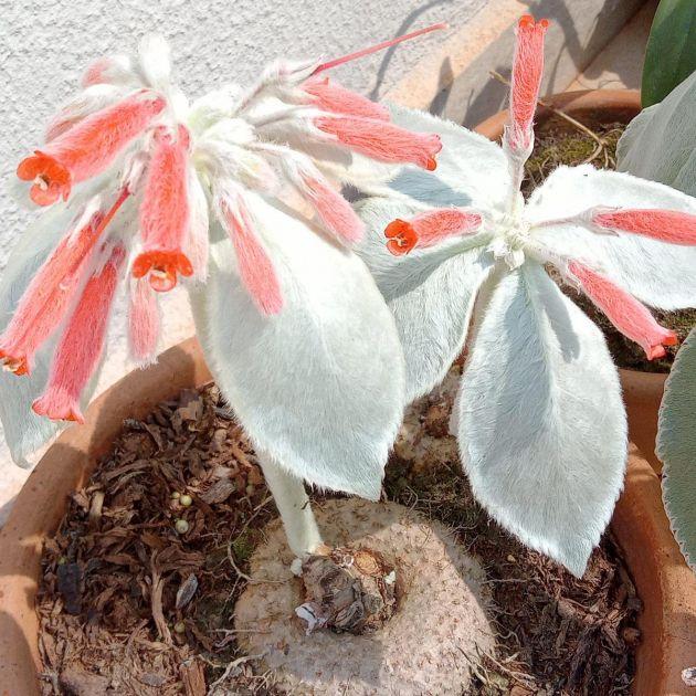 Muda de Rainha do Abismo - Sinningia leucotricha