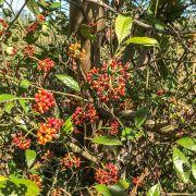 Muda de Sanhaçaiba - Psychotria carthagenensis