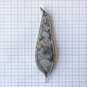 Muda de Sibipiruna - Caesalpinia peltophoroides