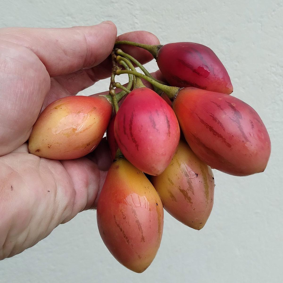 Muda de Tomarillo - Solanum betaceum
