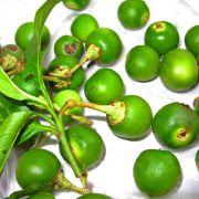Muda de Tomateiro-silvestre - Solanum caavurana