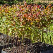 Muda de Eucalipto-urograndis - Eucalyptus urograndis